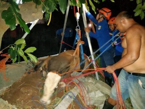 Evakuasi sapi yang nyebur ke sungai di Depok. (Ist)